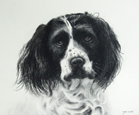 charcoal drawing of a Springer spaniel's head